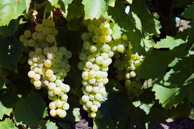 A photo of grapes